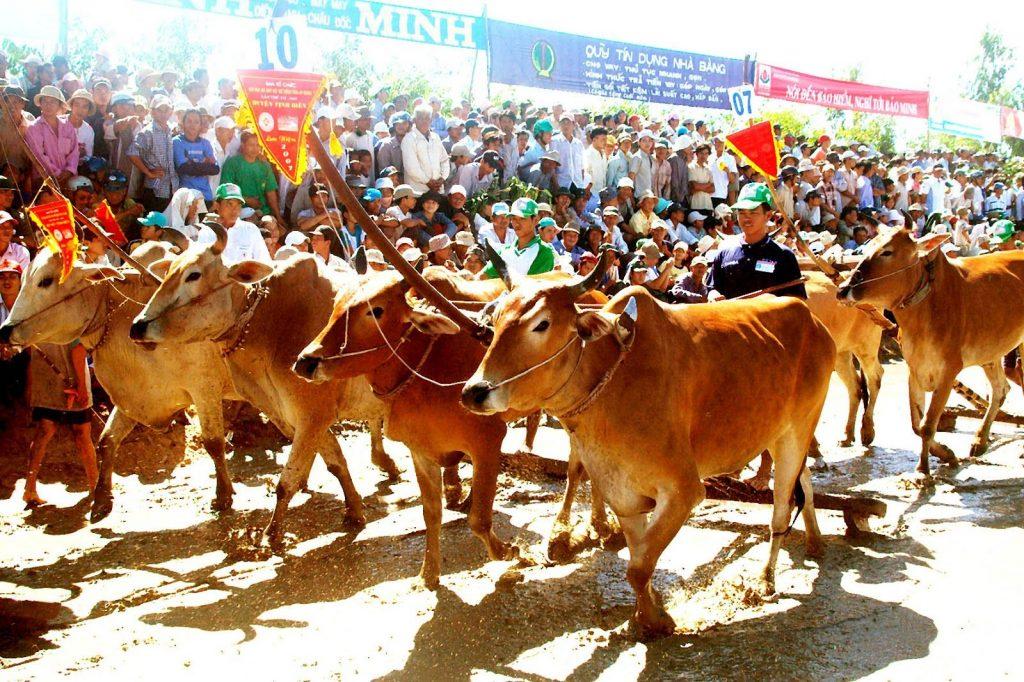 lễ hội đua bò an giang